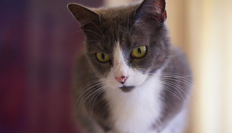 Rođena prva klonirana mačka (foto)