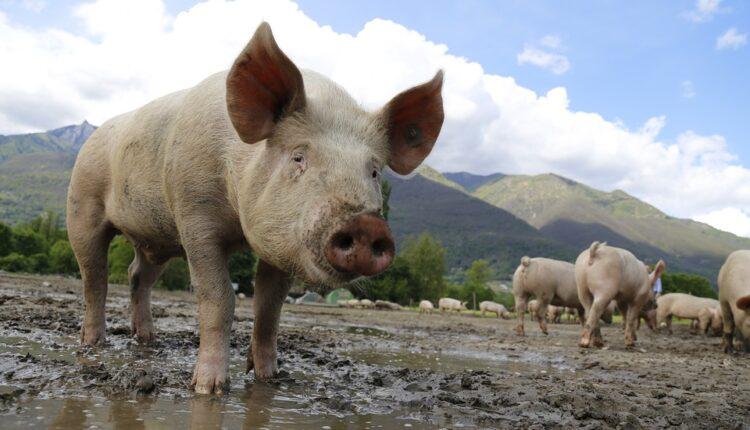 Srbija će možda morati da ubije do pola miliona svinja