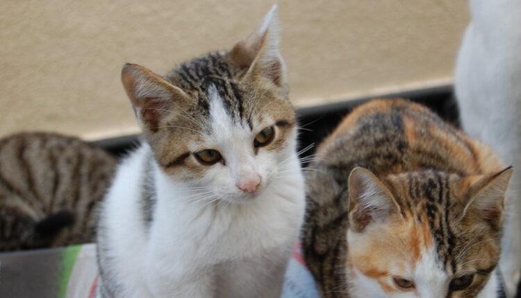 Veterinari: mačke da ne izlaze napolje – zbog korona virusa