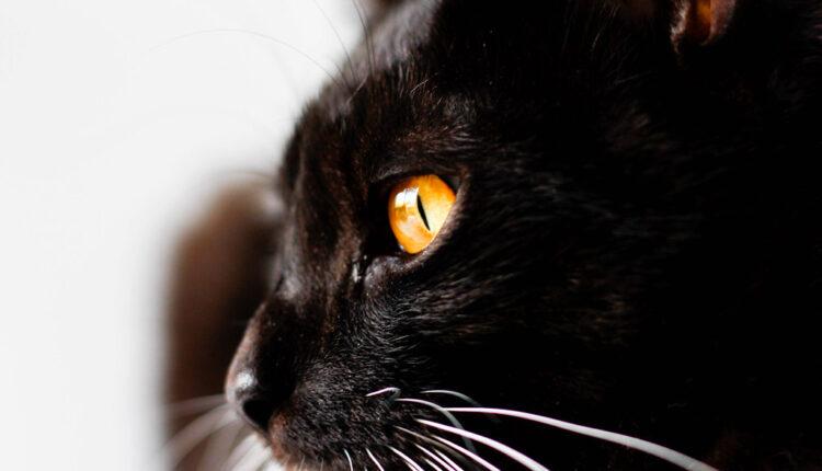 5 zanimljivosti o crnim mačkama koje sigurno niste znali