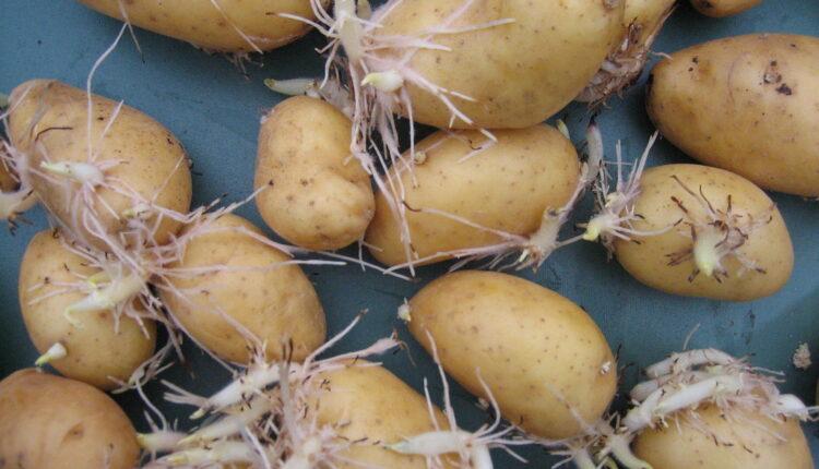 Proklijali krompir nameravate da pojedete? Silno grešite!
