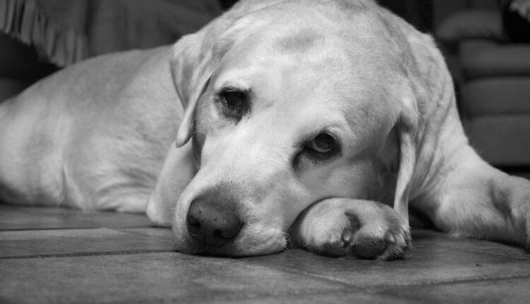 Naučnici odgovaraju: Osećaju li psi tugu?
