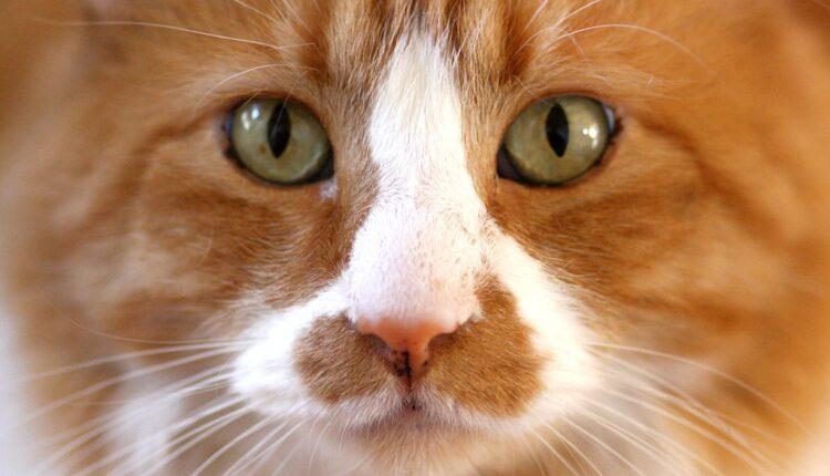 Mačke mogu da se zaraze korona virusom