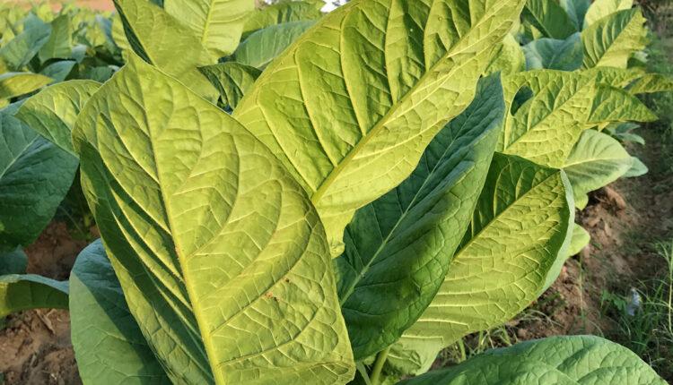 List ove biljke lek za koronu?