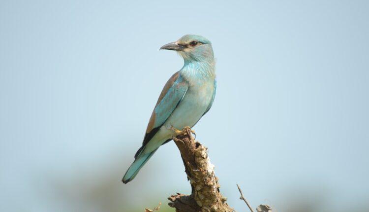 Kako se ptica iz Srbije našla u Namibiji: Preletela 7.368 kilometara za 280 dana