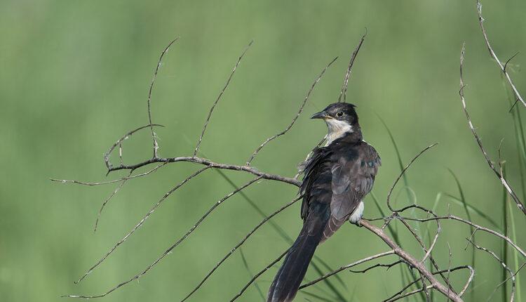 Naučnici zapanjeni: Najduža seoba ptice