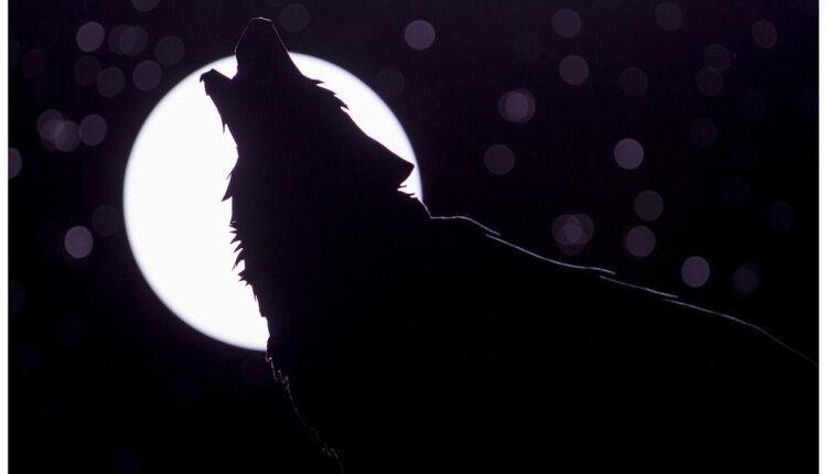 Evo zašto vukovi zavijaju na Mesec
