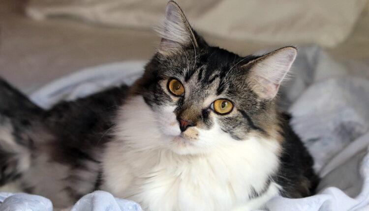5 razloga zašto se mačke uvlače u krevet vlasnika