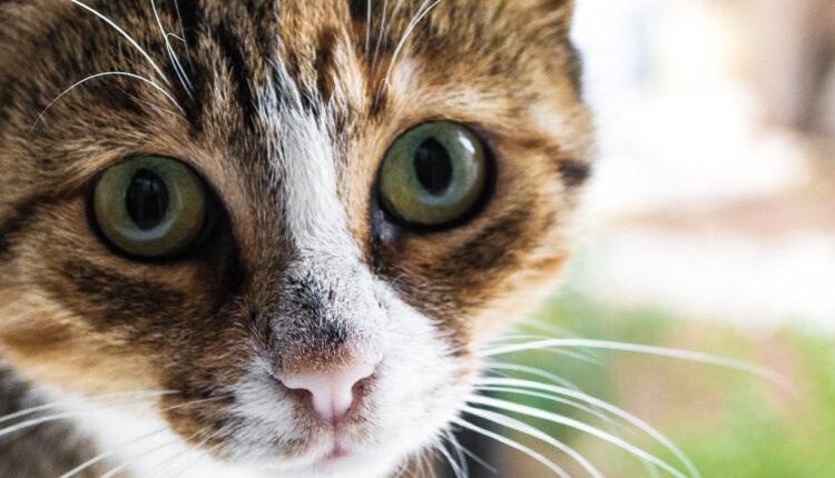 Da li su vlasnici mačaka stvarno otporniji na korona virus?