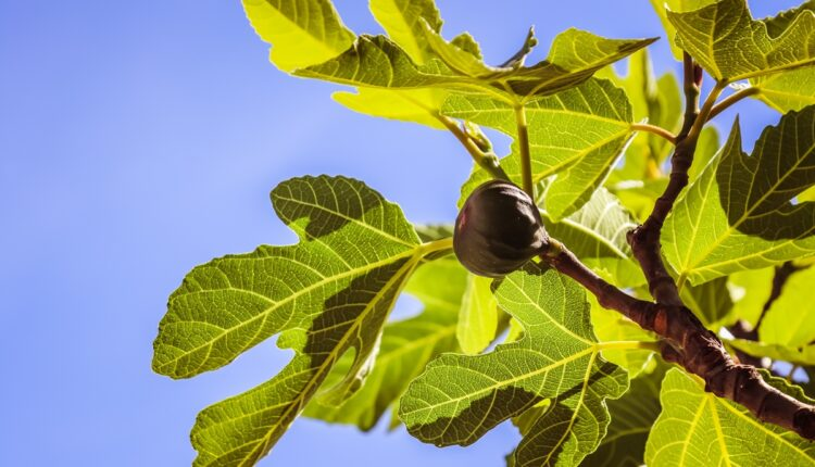 Leči dijabetes, pomaže pri mršavljenju: Obavezno popijte čaj od lista smokve