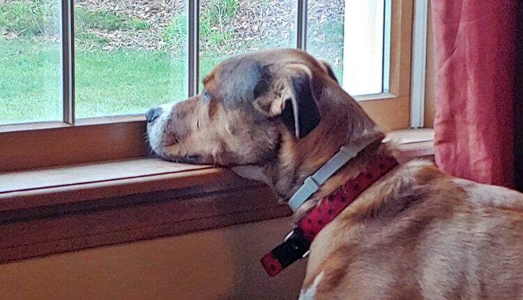 Znate li koliko dugo pas može da ostane sam kod kuće?